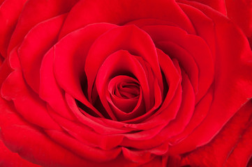 Red beautiful rose macro