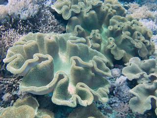soft coral, Nusa Penida, Indonesia