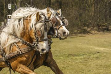 Tweespan paarden racen.