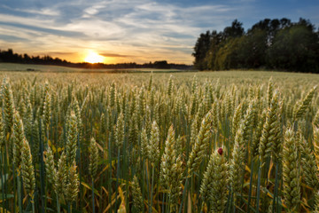 Acrylic Prints Village Sunset on wheat field in Finland with ladybug