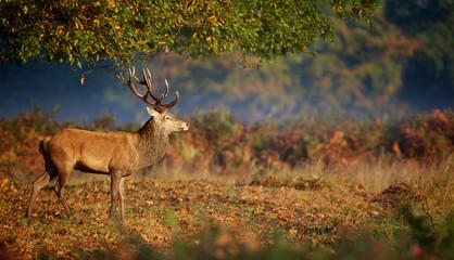 Fotomurales - Red deer stag in morning sunlight