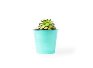 sempervivum succulent plant in vivid pot on white background