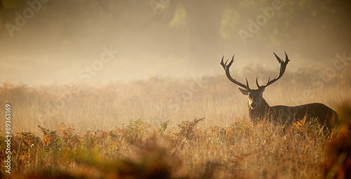 Wall mural Red deer stag silhouette in the mist