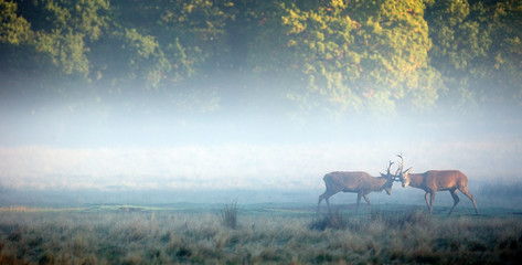 Wall Mural - two red stags sparing in the morning mist