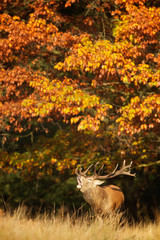 Fototapete - Red stag calling in the autumn