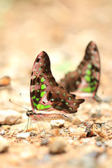 Beauty butterfly in Thailand.