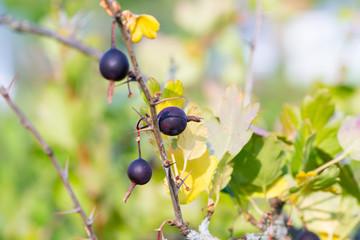 gooseberry food