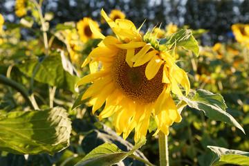 Yellow sunflower on field background