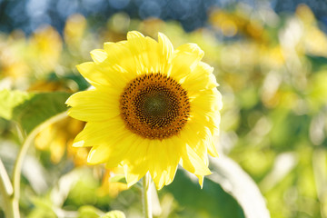 Yellow head of sunflower on field background