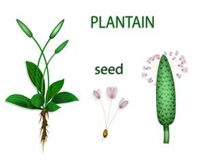 plantain, psyllium