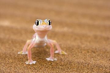 Namibgecko im Wüstensand