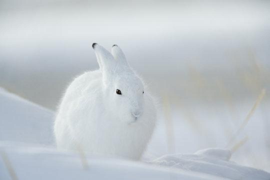 Schneehase tarnt sich im Schnee