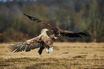 Fighting between eagles