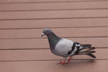 Rock pigeon, Columbia livia, is also called the rock dove. It is found throughout the United States and South America