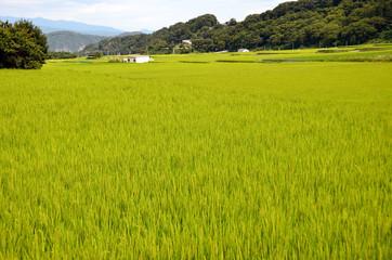 rice ear in summer
