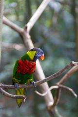 Lory Bird