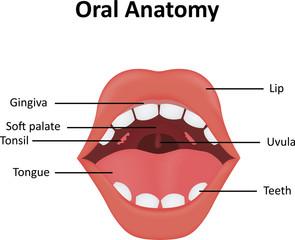 Oral Anatomy Illustration