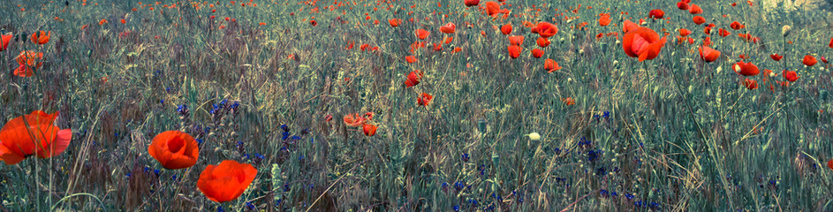 Wall Mural - red poppy field scene