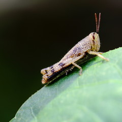 Grasshopper Resting on Green Leaf in the Garden