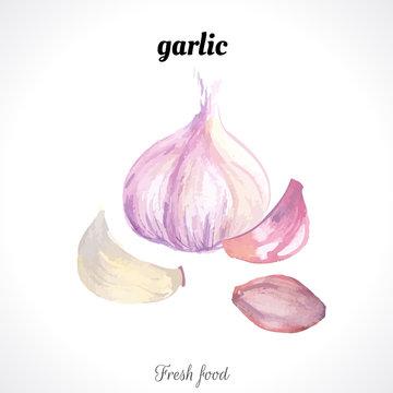 Watercolor garlic. Spice. Recent watercolor paintings of organic food.