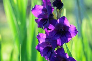 Blühende Gladiole