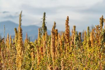 Quinoa plantation (Chenopodium quinoa)