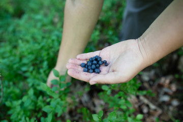 Close-up image of ripe freshly picked wild blueberries in girl's hands. Lady's fingers slightly stained blue from picking organic blueberries in summer forest. Berry bushes on blurry background.