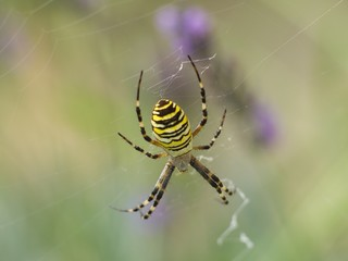 Diadem spider on the siper web close up in the summer in lavender bush waiting for the catch