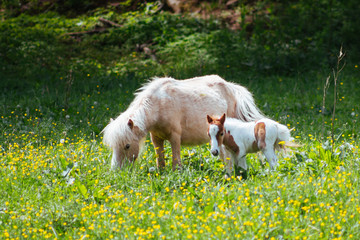 A baby pony stands close to its mother
