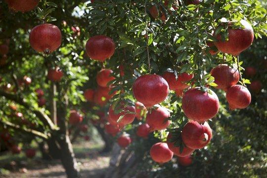 A pomegranate tree
