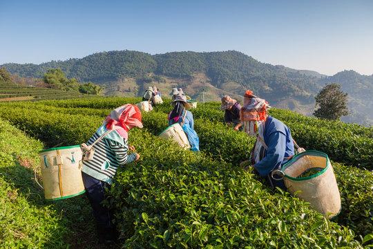 Tea plantation at Chui Fong , Chiang Rai, Thailand.