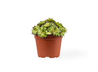 sempervivum succulent plant in vivid pot on white background with shadow