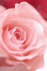 A pink rose (close-up)