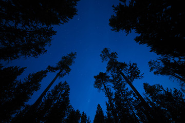 Stars sky and pine trees