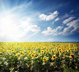 Field of bright yellow sunflowers