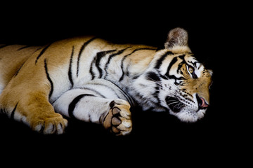 Wall Mural - tiger sleep on one's side isolated on black background
