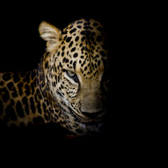 Leopard portrait isolate on black background