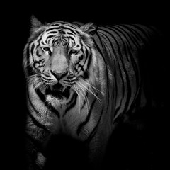 Fototapete - Close up black & white tiger growl isolated on black background