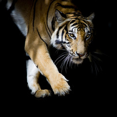Beautiful tiger walking step by step isolated on black backgroun
