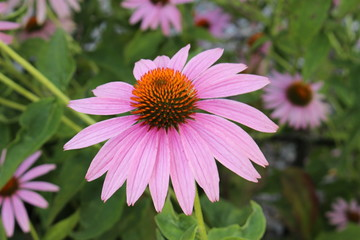 """Eastern Purple Coneflower"" (or Echinacea) in Innsbruck, Austria. Its scientific name is Echinacea Purpurea, native to USA. (See my other flowers)"
