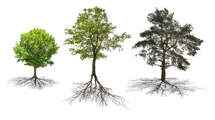 set of three trees with roots isolated on white