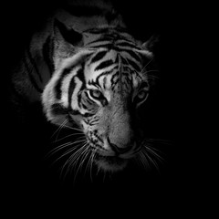 Fototapete - black & white close up face tiger isolated on black background