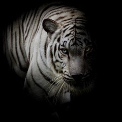 Fototapete - White tiger isolated on black background
