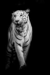 Fototapete - White tiger walking isolated on black background