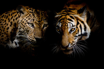 Fototapete - Leopard with blue eyes & Tiger isolate black background