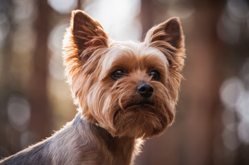 close up Portrait of Yorkshire Terrier dog Wall mural