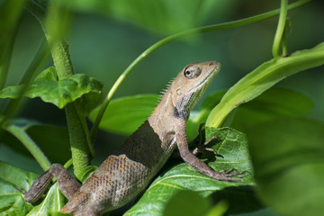 Indian gecko inside a bush looking out ,  Kolkata, India