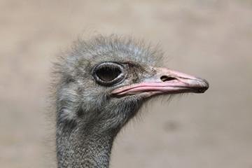 Ostrich (Struthio camelus).