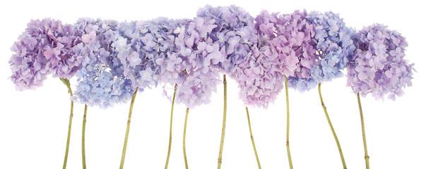 Foto op Canvas Hydrangea Purple flowers hydrangea (Clipping path)