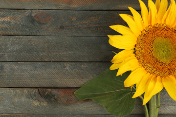 Beautiful sunflower on wooden background